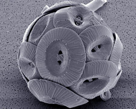 A microscopic image of a coccolithophore