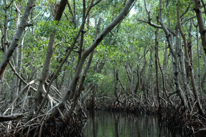 A mangrove swamp in the Florida Everglades