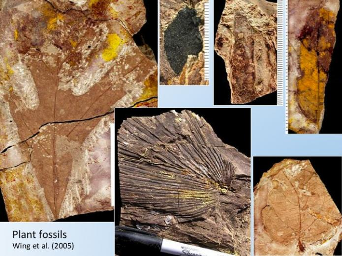 Fossil remains of leaves from Paleocene Eocene thermal maximum in the Bighorn Basin, Wyoming.