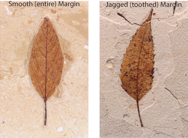 Fossil leaves, one with smooth (entire) margin and one  with jagged (toothed) margin.