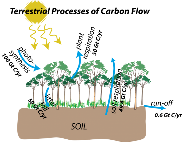 Schematic illustration to show terrestrial process of carbon flow