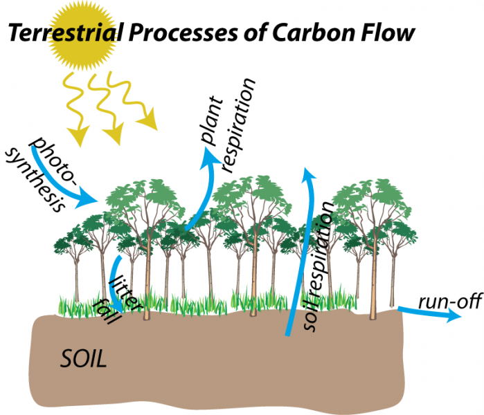 Schematic illustration to show terrestrial processes of carbon flow: photosynthesis, litter fall, plant respiration, soil respiration, run-off
