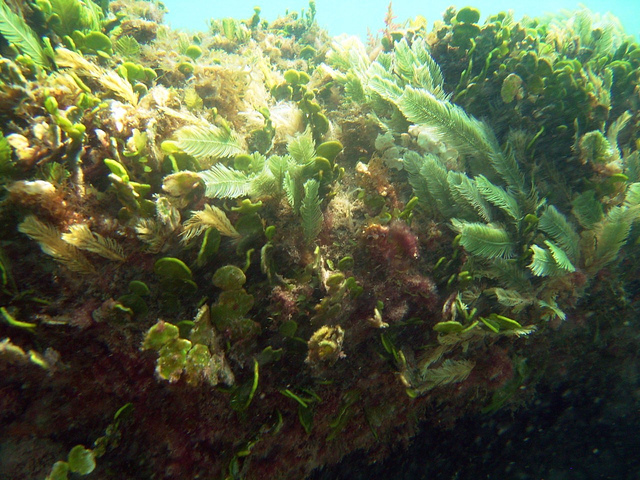 Coral in Florida invaded by blooms of red and brown algae