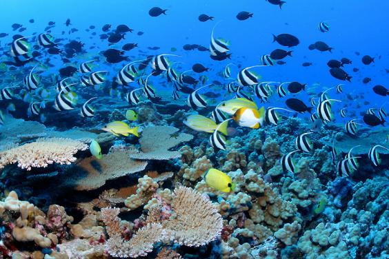 Fish in coral reef off Hawaii