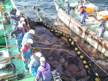Japanese fishermen retrieving nets filled with giant jellyfish