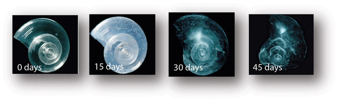 Four images showing progressive dissolution of pteropod in water with projected pH of ocean in 2100