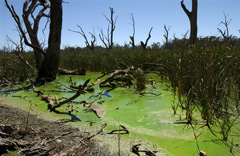 Toxic bloom of blue green algae resulting from nutrient loading in the Murray Darling Basin