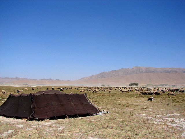 A field of cattle with mountains in the background and a small tent in the foreground