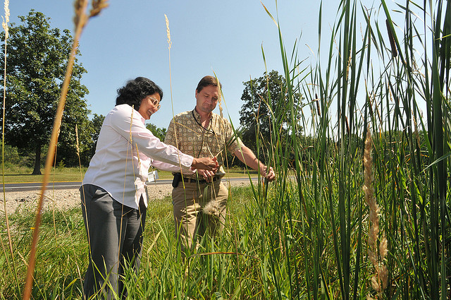 Environmental scientists at Argonne National Laboratory study potential biofuel crops