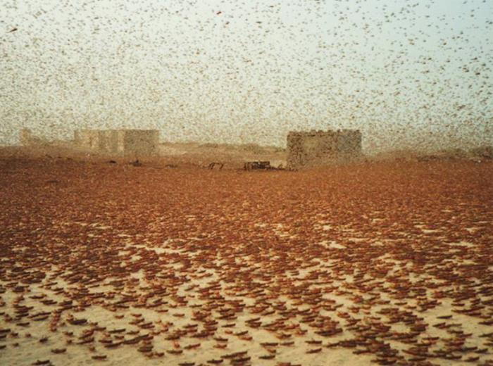Hundreds of thousands of locusts in the desert make it difficult to see buildings a few hundred feet away.