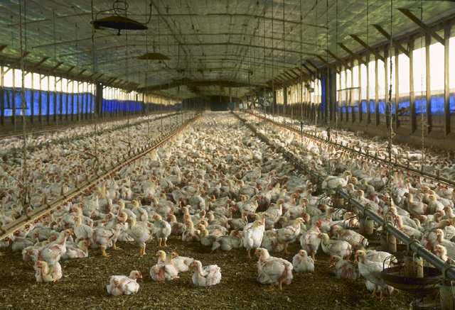 Thousands of chickens sitting in an industrial chicken farm in Florida.