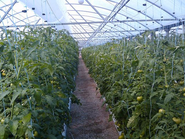 Photo of hydroponic tomatoes (i.e. grown in water with no soil) growing in a greenhouse.