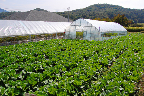 Photograph of a large planting of lettuce in Korea, an example of sustainable intensification in farming.