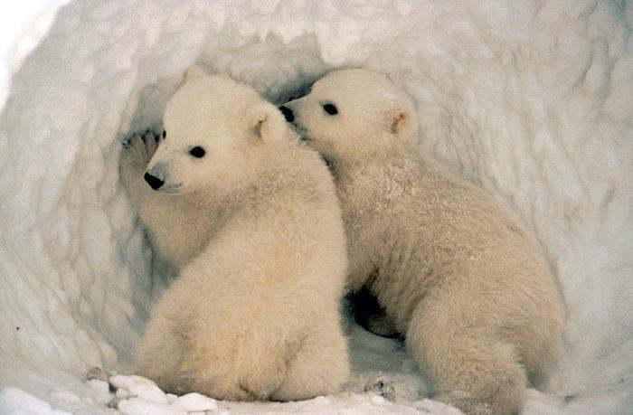 Polar bear cubs in den