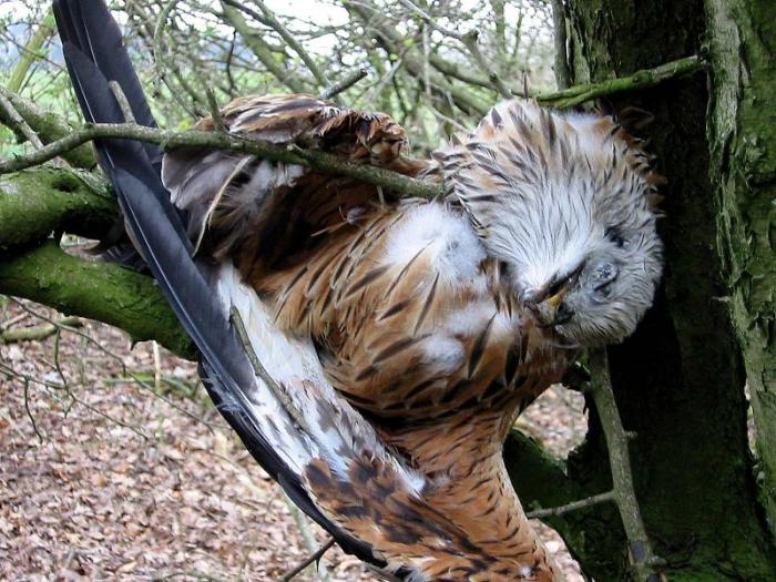 dead kite in a tree, killed by wind turbine blades
