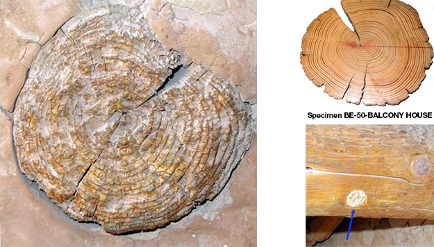 On left a close-up of a log showing rings.Top right a museum log specimen. Bottom right plug removed from log and replaced by modern wood.
