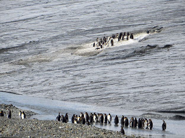 Penguins at Heaney Glacier, South Georgia Island in subantarctic Atlantic Ocean.