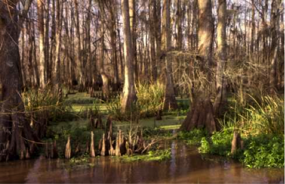 Cypress-Tupelo swamp, trees in standing water