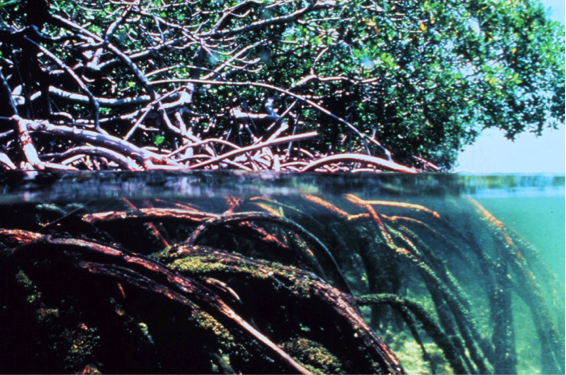 mangrove shoreline with roots going into the water