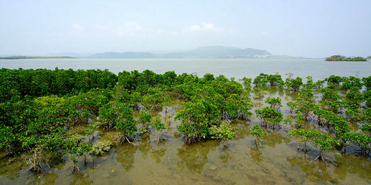 Mangrove forest in the water near Okinawa, Japan