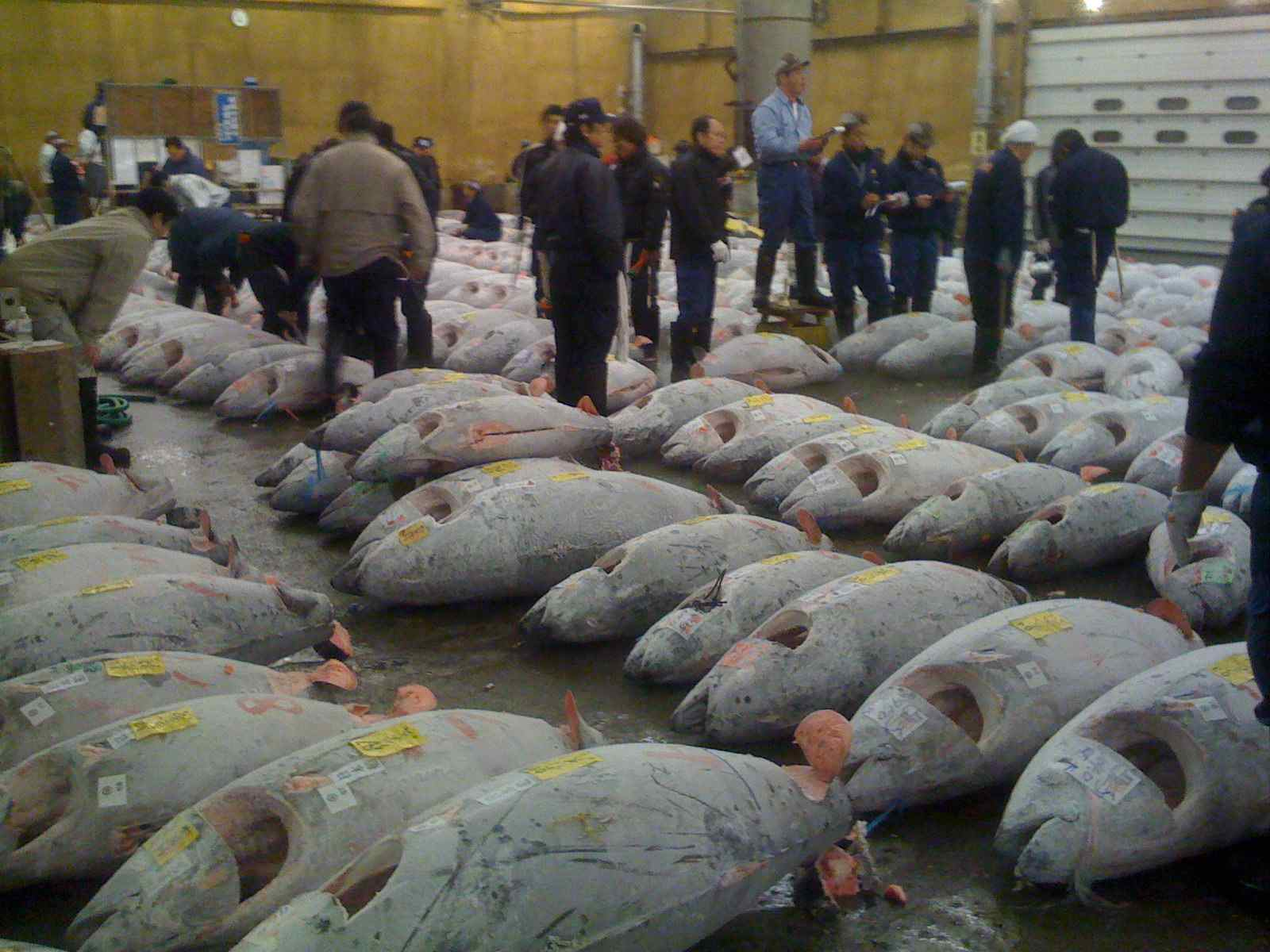 Hundreds of large fish laid out on the floor with men walking around with clipboards.