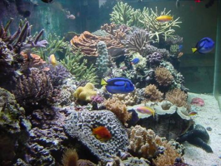 A coral reef in an aquarium. There are multiple types of coral and multiple types of fish.