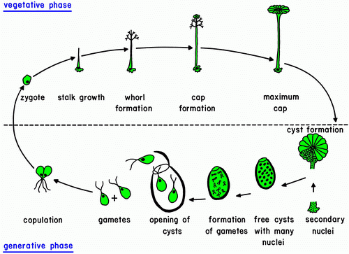 103 algae growth and reaction conditions egee 439 life cycle of unicellular algae ccuart Gallery