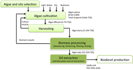 steps in algal biodiesel production. see above text for description