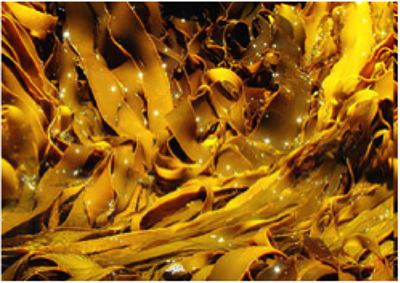 A pile of bright yellow kelp