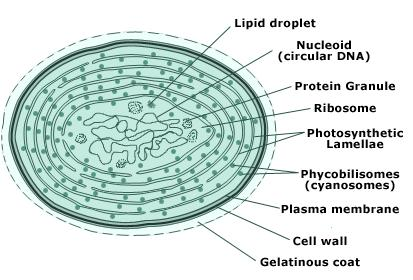 102 what are algae egee 439 diagram of cell structure of blue algae see above text for important information ccuart Image collections