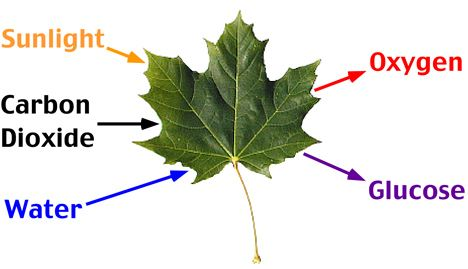 leaf with inputs sunlight, carbon dioxide, and water and with outputs oxygen and glucose