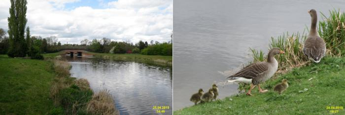 Left: water way surrounded by green and a bridge. Right: ducks on edge on grass and reeds