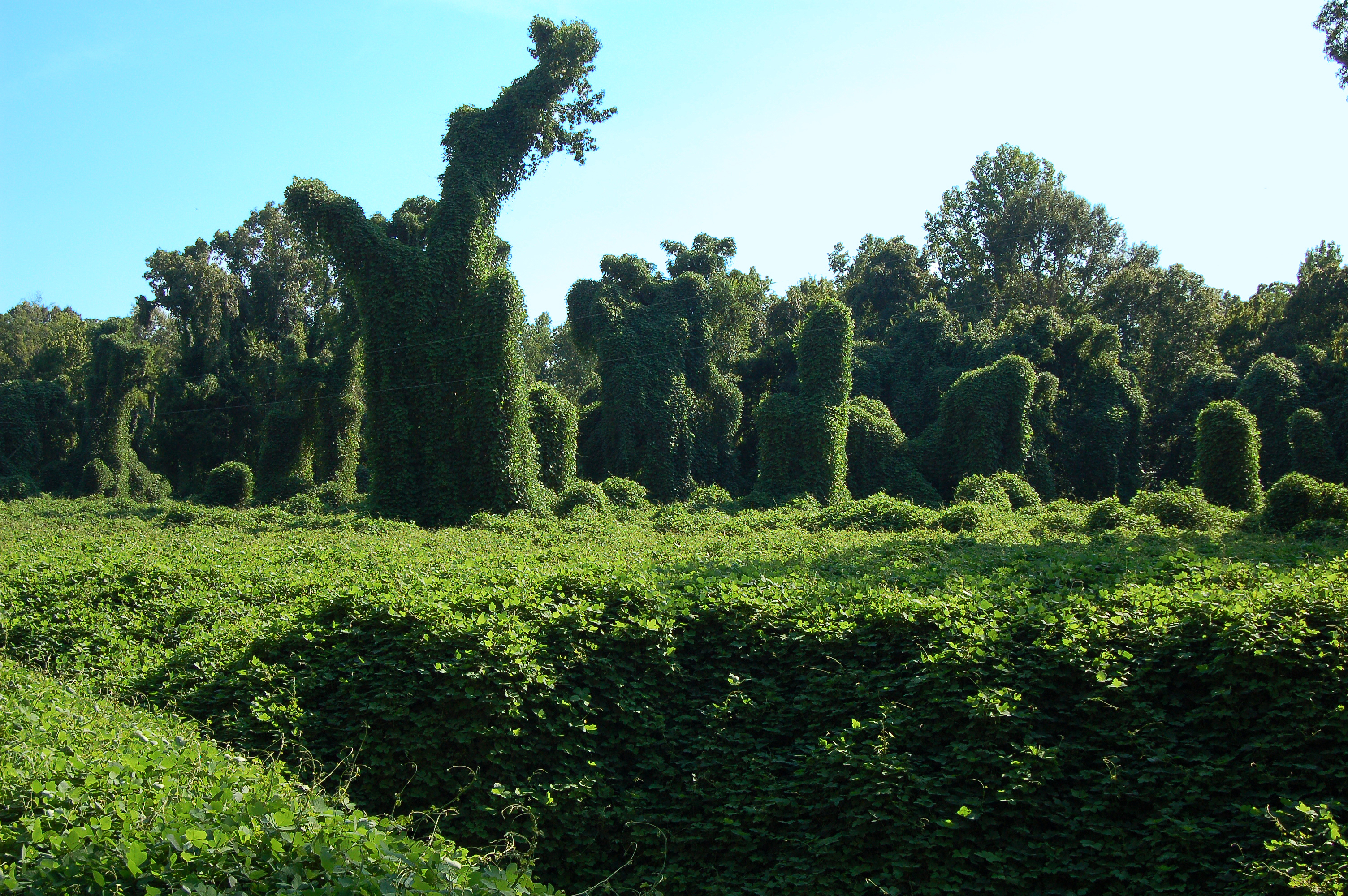 Picture of kudzu-covered trees in a MIssissippi forest.