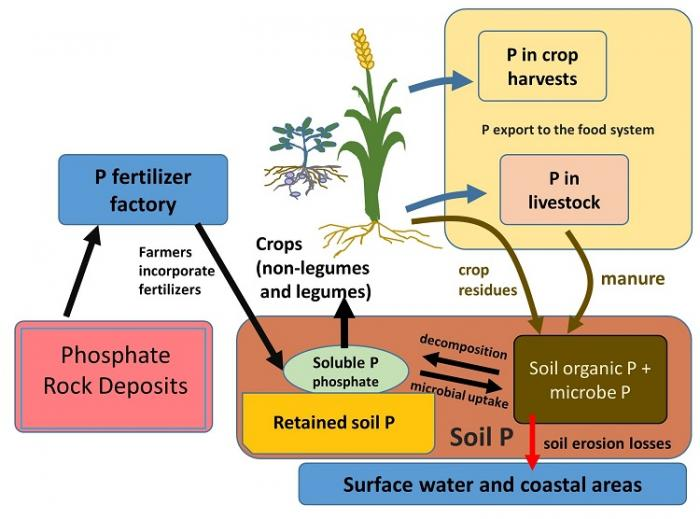 Diagram of phosphorus cycling relevant to food systems. See image caption