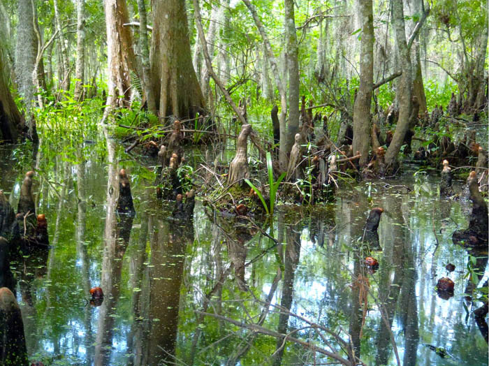 Cypress trees in a bayou, Barataria Preserve, Jean Lafitte National Historical Park and Preserve, Louisiana.