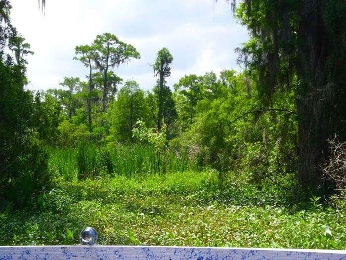 View of bayou plants taken from an airboat.