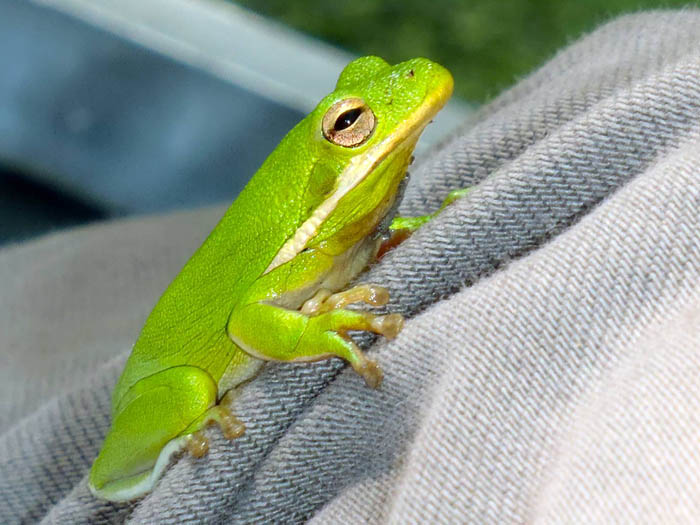 A green frog sitting on Dr. Alley's  knee after he air-boated through a particularly dense patch of plants.