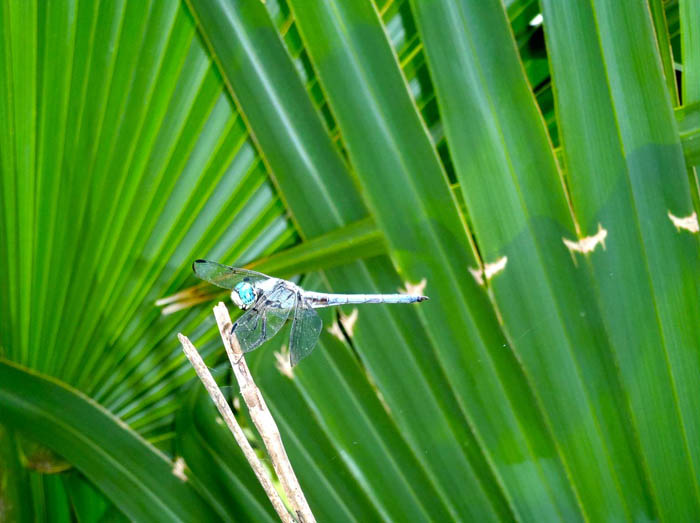 Dragonfly on palmetto plant