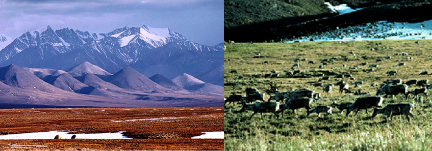 Two pics.  1. The Artic National Wildlife Refuge with flat land in the forefront and mountain range in the background.  2.  Caribou in ANWR.