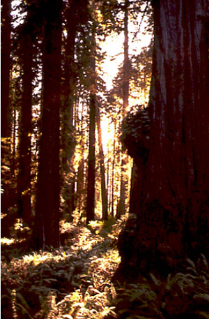 Redwood trees (Sequoia sempervirens) in Redwood National Park.
