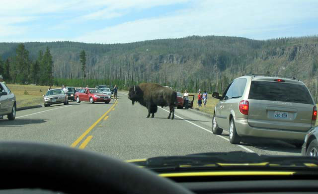 Bison on the road creating a traffic jam, Yellowstone National Park