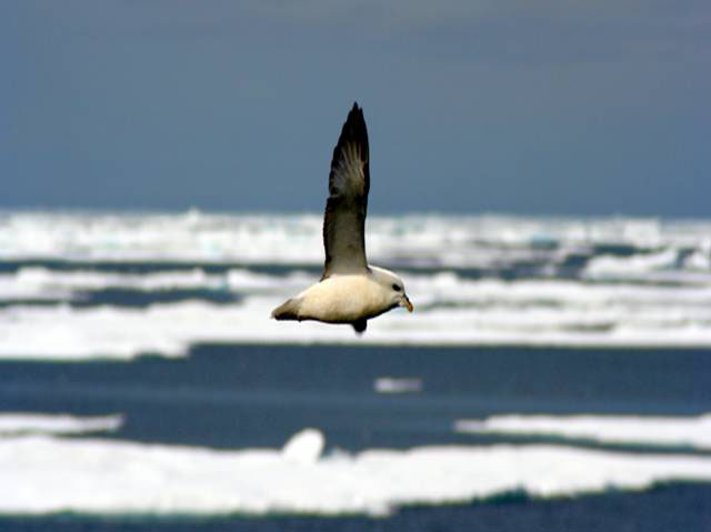 Fulmar (a bird similar to the albatross) flying over the sea ice.
