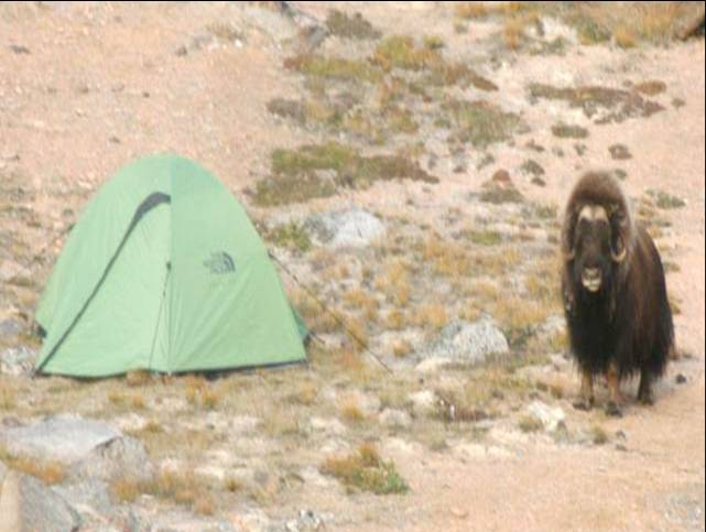 Musk ox next to a tent in NE Greenland National Park