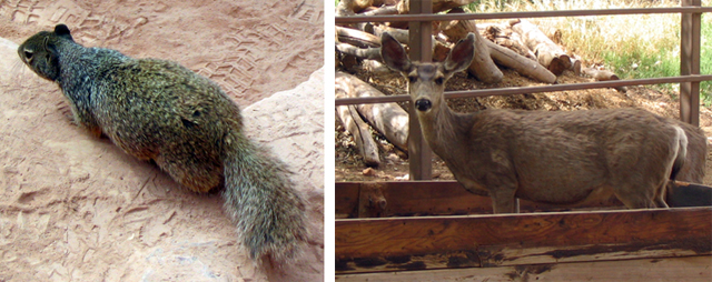 Two pictures from Indian Gardens, Grand Canyon.  1.  Ground squirrel 2.  Mule deer in a feeding trough.