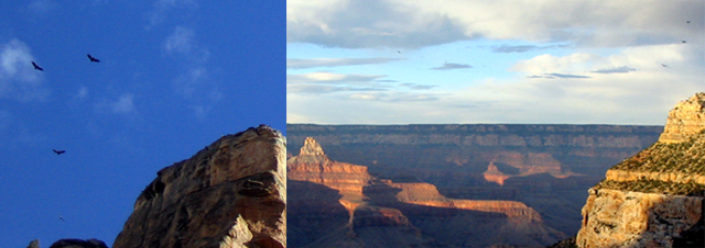 California condors flying over the Grand Canyon.  They have been reintroduced there successfully.
