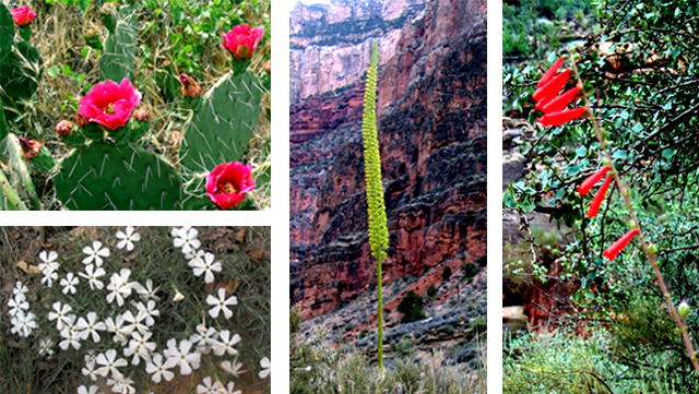 Four pictures of flowers found in the Canyon.  Prickly pear, phlox, century plant and penstemon.
