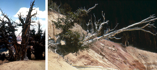 Two pictures of  dying bristlecone pines at Cedar Breaks National Monument, Utah.