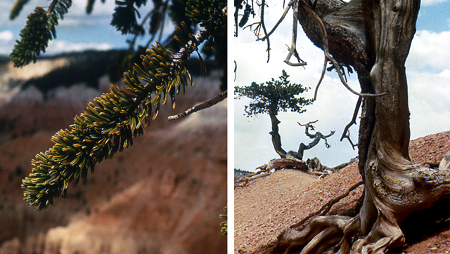 Two pictures.  1.  Closeup of the brislecone pines branches that look like a bottle brush. 2. Exposed roots of a bristlecone pine.