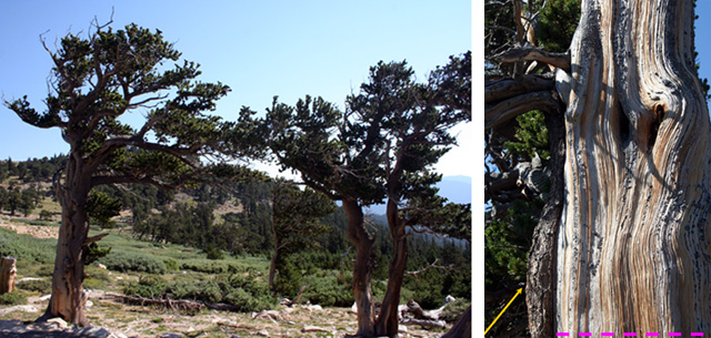 Two pics  1.  Bristlecone pines, Mt. Evans, CO   2.  Close up of bristlecone trunk.  One small section has bark, the rest is gone.