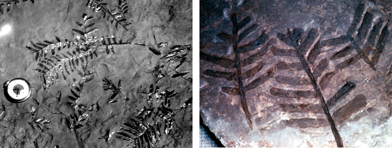 Fern fossils from the Hermit Shale near the Kaibab Trail.